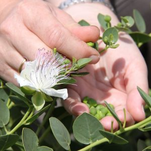 hand close up picking capers from bush